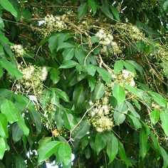 Large spreading tree with masses of fluffy cream flowers and white or red fruit. Dense foliage. Very hardy. Excellent screen. Height to about 10m.