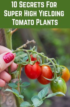 10 Secrets For Growing High Yield Tomato Plants 10 Secrets For Growing High Yield Tomato Plants,gardens Grow more tomatoes than you ever thought possible with these ten pro tips. Related posts:Raised and Enclosed Garden. Home Vegetable Garden, Tomato Garden, Tomato Plant Food, Veggie Gardens, Growing Vegetables, Growing Plants, Tips For Growing Tomatoes, Gardening Vegetables, Garden Beds
