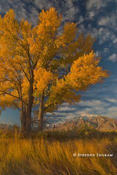 FREMONT COTTONWOOD // fall Mt. Tom, Round Valley, Eastern Sierra, CA