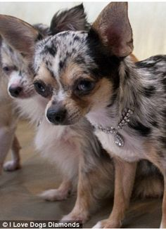 Diamonds are a dog's best friend! The world's most expensive dog collars for incredibly pampered pooches World Expensive Dog, World's Most Expensive Dog, Merle Chihuahua, Chihuahua Puppies, Dog Best Friend, Dog Friends, Baby Animals, Cute Animals, Rare Dogs