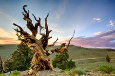 Why a scientist cut down 'the oldest living tree' (in 1965)