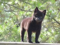 Schipperke- Looks just like my Hershey! Cute Cats And Dogs, I Love Dogs, Animals And Pets, Cute Animals, Hilarious Animals, Schipperke Puppies, Puppy Pool, Cute Puppies, Dogs And Puppies