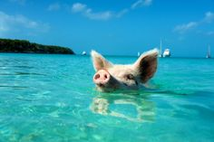 Days like these make me want to move to Pig Beach and live with the pigs