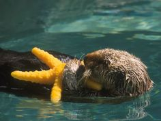 California Sea Otters | SeaWorld San Diego