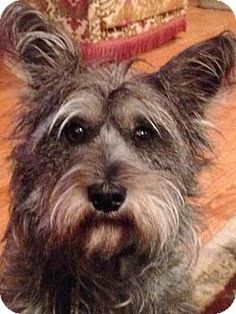 Whitehouse Station, NJ - Standard Schnauzer/Terrier (Unknown Type, Medium) Mix. Meet Maggie May, a dog for adoption. http://www.adoptapet.com/pet/12394588-whitehouse-station-new-jersey-standard-schnauzer-mix