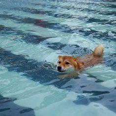 Shiba Inu swimming in the pool.