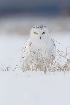 """beautiful-wildlife: """" Evil Eyes by Jacques-Andre Dupont """""""
