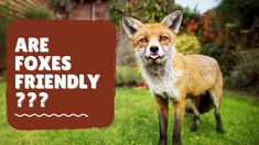 Are Foxes Friendly? Find Out Now! Fox Information, Fox Video, Red Fox, Foxes, Creatures, Videos, Fun, Animals, Fin Fun