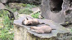 Otter spielt mit einem Stein (Otter plays with a stone) THE ORIGINAL!