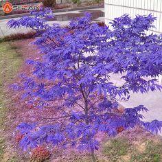 Japanese Blue Maple