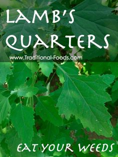 Lambs Quarters -- Forage Your Dinner at Traditional-Foods.com