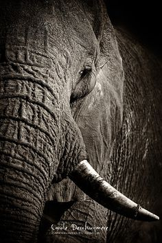 Carole Deschuymere is a passionate wildlife photographer. Join her on a photographic safari to her beloved Africa and learn how to shoot the best wildlife pictures. Safari, Wildlife, Elephant, Africa, Fine Art, Photography, Animals, Inspiration, Biblical Inspiration