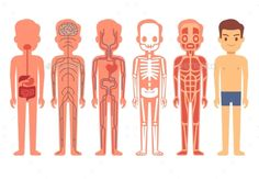 Human Body Anatomy Vector Illustration Male by MicrovOne Human body anatomy vector. Male skeleton, muscular, circulatory, nervous and digestive systems. Human functioning system cartoon i Male Skeleton, Skeleton Body, Human Body Anatomy, Anatomy Male, Human Body Systems, Muscular System, Female Bodies, Character Design, Cartoon