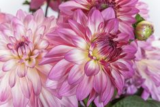 t's the time of year when the dahlias are in full glory! Be sure to bring some in to enjoy! It's recommended to cut the dahlia stems in the morning when the flower is well hydrated and not stressed from the day. To make sure the blossoms are still young and fresh, turn the flower over and check the petals on the back. If they are limp or soft, you have only about 24 hours before they start dropping.These beautiful dahlias are Sincerity from NGB member Syngenta Flowers North America Bulb Flowers, Large Flowers, Garden Beds, Garden Plants, Summer Bulbs, Growing Dahlias, Garden Shop, Cottage Gardens, Zinnias