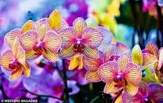 Phalaenopsis orchids at Double