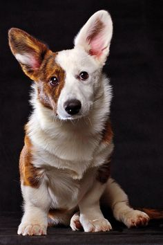 Cardigan Corgi. A like Pembrokes better but this is one pretty dog