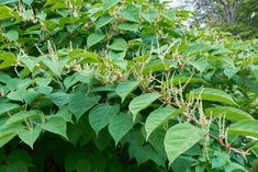 Japanese knotweed in a herbaceous perennial that in native to Japan, North China, Taiwan and Korea. According to Whole Foods Magazine Online, Japanese knotweed contains significant concentrations o…