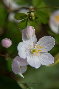 Wisconsin Wildflowers - Wood Anemone