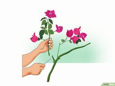 How to Propagate Bougainvillea: 12 Steps (with Pictures) - wikiHow