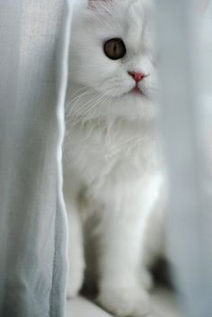 A white kitten peeking from behind the window curtains.