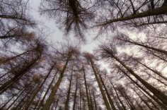Low Angle View of Tall Bare Forest Trees Towering Above Toward Cloudy Sky - free stock photo from www.freeimages.co.uk