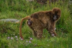Geladas typically give birth in total seclusion. Here's how one photographer got a rare image of a monkey in labor.