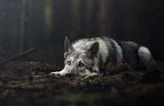 Wolfdog in a fairytale forest - Wolfdog Ziggy