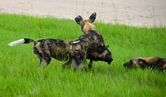 #africa #safari #wild #painted #dog #pack #dogs