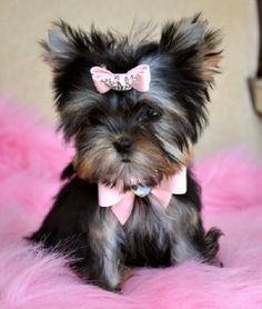 teacup yorkie?? YES PLEASE... christmas is comming soon you know?