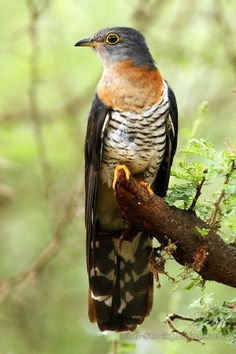 The Red-chested Cuckoo (Cuculus solitarius) is a species of cuckoo in the Cuculidae family. It is a medium-sized bird (28 to 30 cm), found in Africa south of the Sahara.