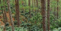 El Salvador exporta al extranjero alrededor de 300 mil quintales del aromático grano certificado como Rainforest Alliance y es el tercer país exportador a nivel mundial, solo atrás de Brasil y Perú.