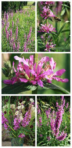 Blutweiderich - eine meiner Lieblings Wild-Blumen ... wie gerade gepinnt, sehr schön auch im eigenen (Wasser-) Garten. Übrigens nicht nur schön als Vasenblume, sondern auch heilsam und eine tolle Bienenweide! Wild Flowers, Green, Flora, Herbs, Plants, Garden, Flowers