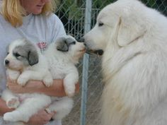 Great Pyrenees kisses