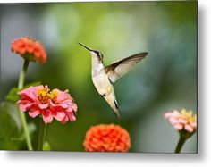Sweet Promise Hummingbird Metal Print by Christina Rollo.  All metal prints are professionally printed, packaged, and shipped within 3 - 4 business days and delivered ready-to-hang on your wall. Choose from multiple sizes and mounting options.