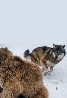 Lone Wolf — johnnybravo20: The Wolf and the Bear (by Tambako...