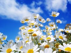 Beautiful White Daisy Flowers Wallpaper for desktop and mobile in