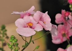 How to Grow and Maintain Diascia Plant species such as Twinspur, an Ideal plant to Grow in a Rock Garden. Sun Loving Plants, Plant Species, Perennials, Wild Flowers, Rose, Garden, Pink, Garten, Gardens