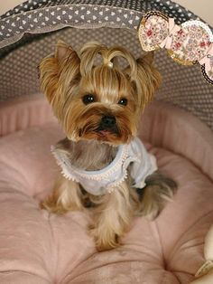 """Determine additional relevant information on """"yorkshire terrier"""". Check out our website. Yorkies, Yorkie Puppy, Yorky Terrier, Cute Puppies, Cute Dogs, Yorkie Haircuts, Shih Tzu, Yorkshire Terrier Puppies, Rottweiler Puppies"""