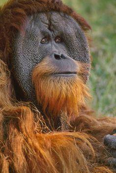 Orangutan, Pongo pygmaeus, Sabah, Borneo