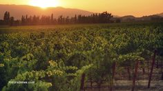 Cancer causing glyphosate herbicide now contaminating ORGANIC wines from California, says consumer group