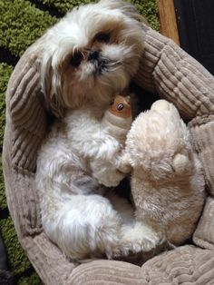 I love shih tzus! If I didn't know any better, I'd say this was Bruno!