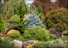 Picea pungens 'Montgomery' centered in a garden filled with colorful conifers and other exciting plants.
