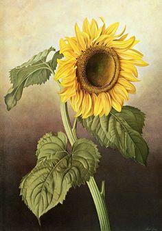 30-Fleurs fruits jardins en peinture ( P.J)