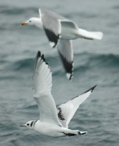 Black-legged kittiwake in flight.