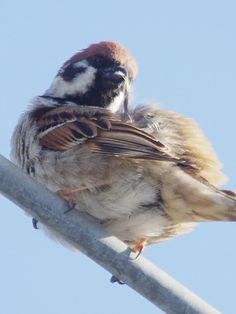 Sparrow Sparrow Food, Birds 2, Bird Drawings, Little Birds, Gliders, Bird Feathers, Old World, Sparrows, Funny Pictures