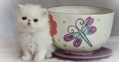 Purebred Micro-mini, Teacup Persians Kittens for sale - Baggot Street, co. Dublin