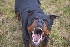 Resultado de imagem para angry rottweiler