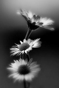 Beautiful nature daisy black and white flowers photography Black And White Flowers, Black And White Pictures, White Art, Foto Macro, Fotografia Macro, Photo Black, Belle Photo, Black And White Photography, Monochrome Photography