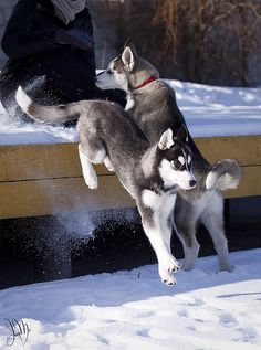 Up or Down Huskies! Make up your minds! Lol by Irene Mei via Flickr.