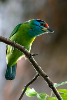 Birds in Thailand: Blue throated Barbet